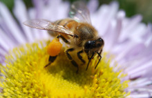 Aldi bans pesticides for the survival of bees